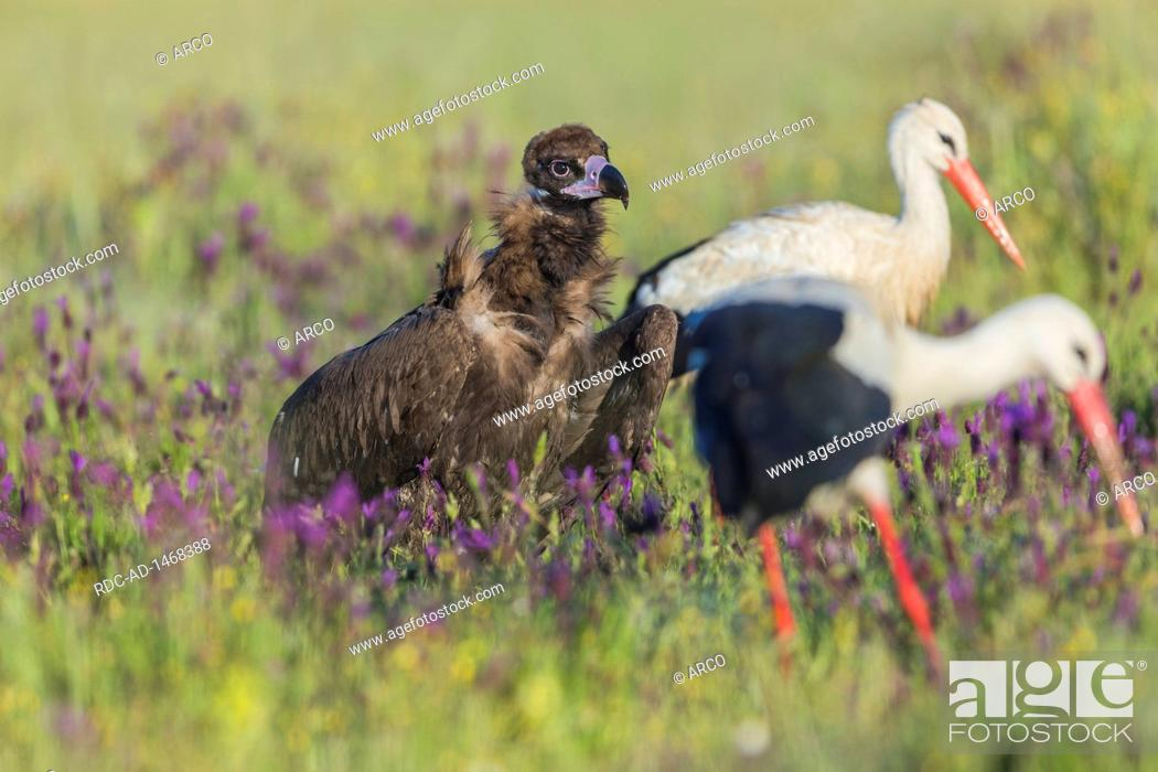 Stock Photo: Cinerous vulture with butterfly lavender, Black vulture, Spain, Aegypius monachus,.