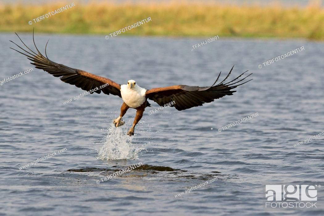 Stock Photo: african fish eagle.