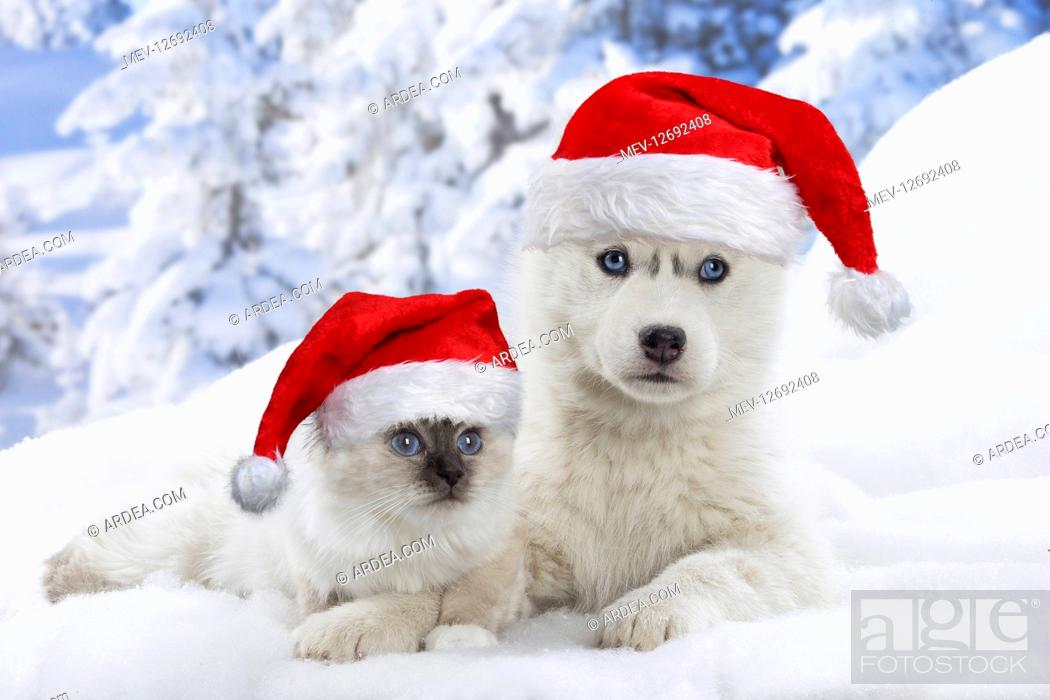 Stock Photo: Husky puppy and Birman kitten in the snow in winter wearing Christmas hats.
