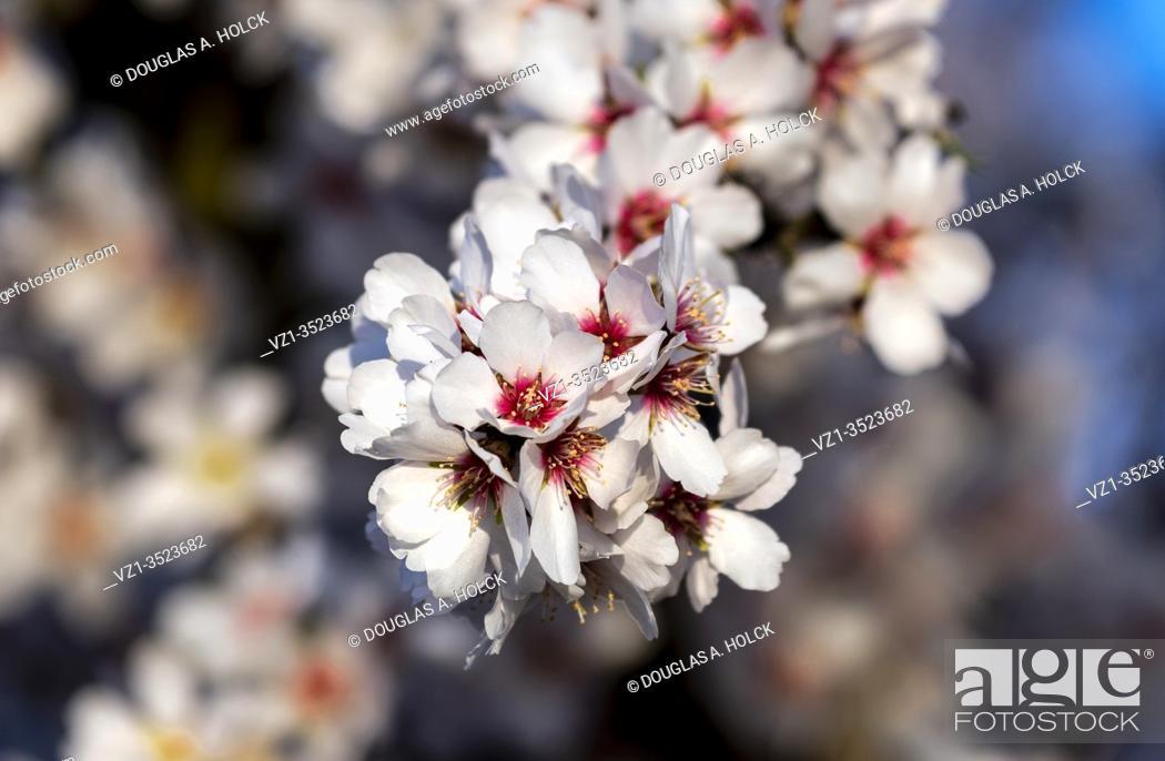 Imagen: Almond Tree Blossoms.