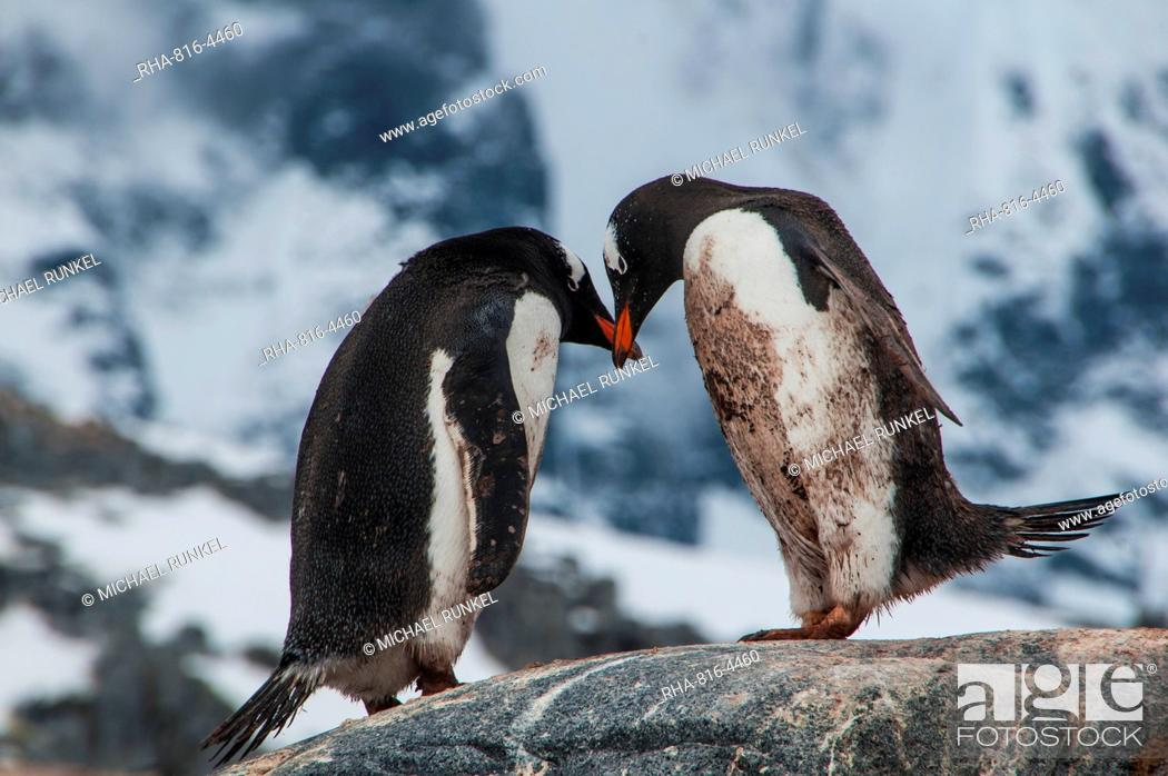 Stock Photo: Adelie penguins (Pygoscelis adeliae), Port Lockroy research station, Antarctica, Polar Regions.