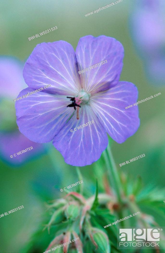 Stock Photo: meadow cranesbill Geranium pratense, single flower.
