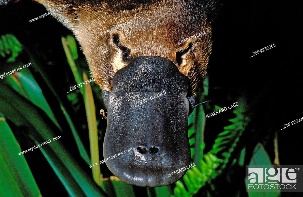 Imagen: Platypus, ornithorhynchus anatinus, Close up of Beak, Australia.