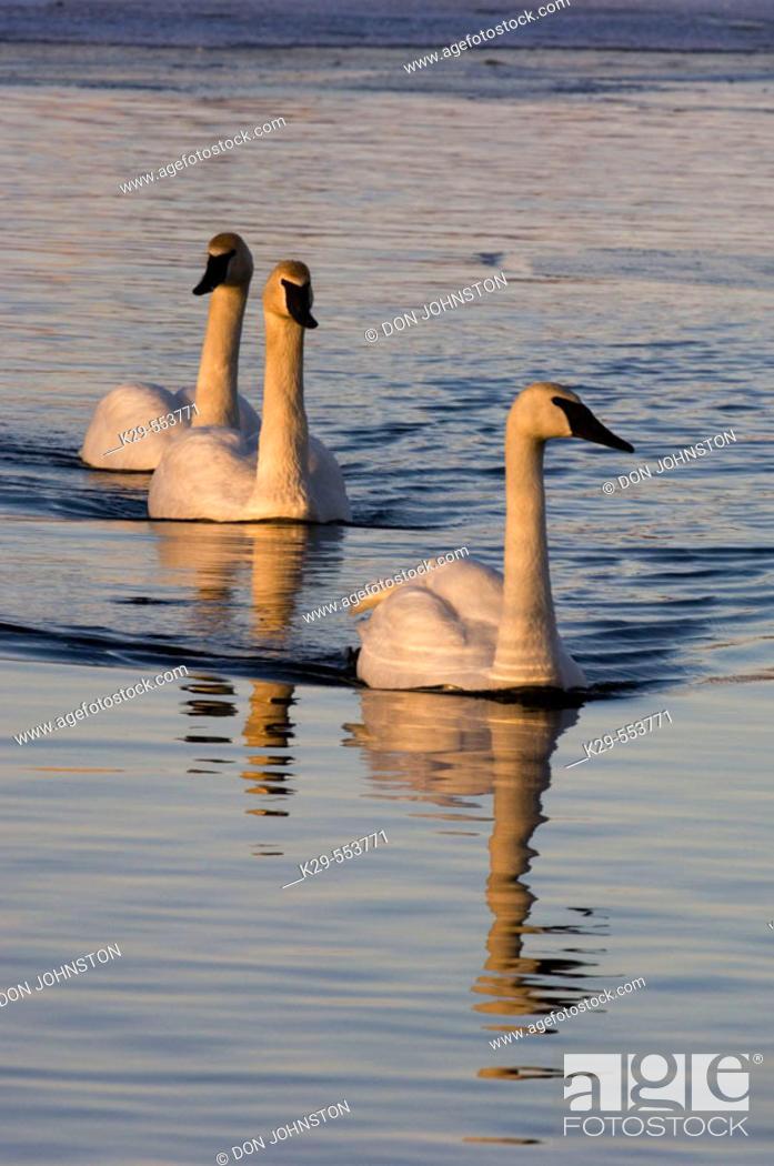 Stock Photo: Trumpeter Swan (Cygnus buccinator) Overwintering adults swimming in open water. Sudbury, Ontario.
