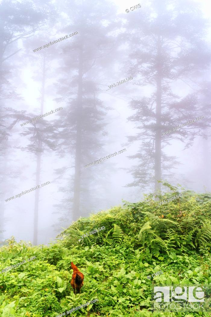 Imagen: Emei Mountain, Sichuan province, China - The view at a mist fully forest, a rooster is looking around.