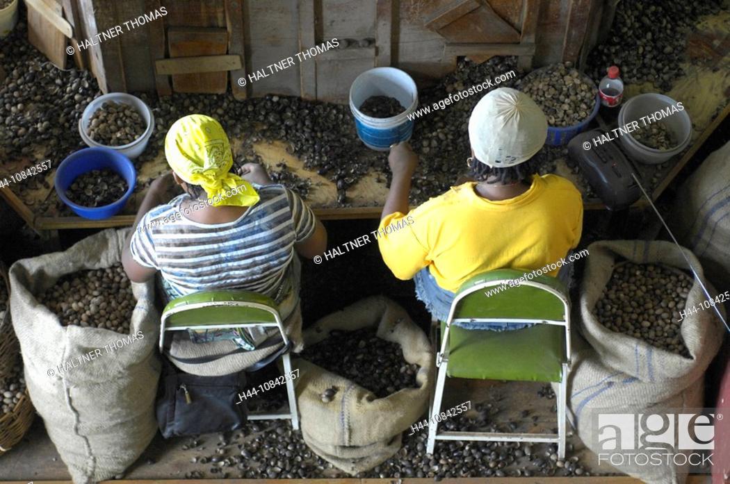 Stock Photo: Grenada, Carribean, Gouyave city, town, Gouyave, nutmeg, nutmegs, factory, processing, workers, work, inside, Indoor,.