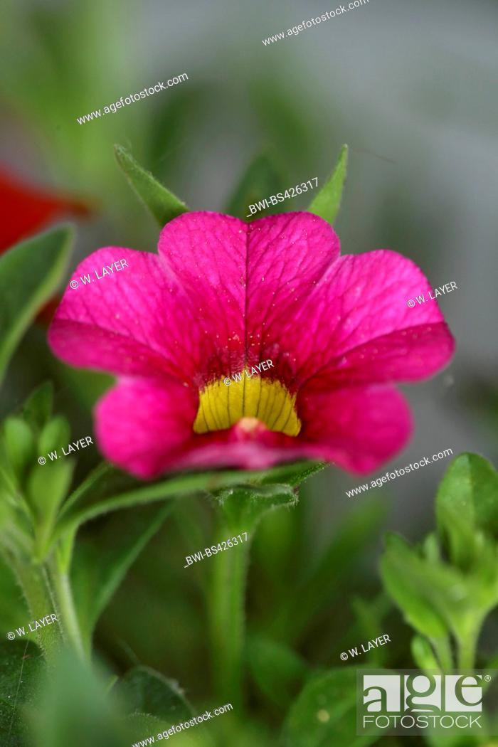 Stock Photo: Millionbells (Callibrachoa, Callibrachoa-Hybride, Petunia-Hybride, Petunia), flower.