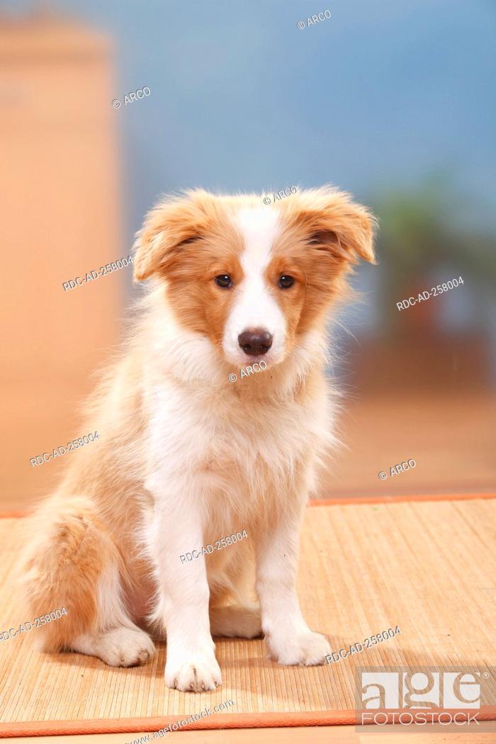 Border Collie Puppy 14 Weeks Australian Red White Foto De Stock Imagen Derechos Protegidos Pic Rdc Ad 258004 Agefotostock