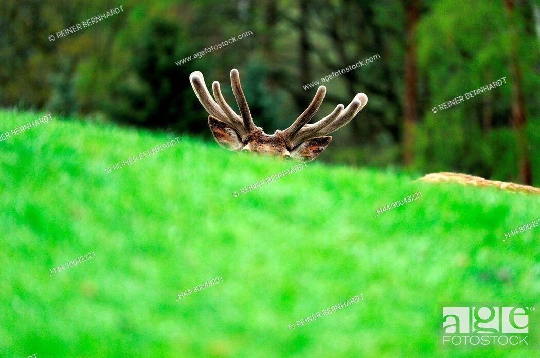 Imagen: Cerviden, Cervus elaphus, local game, Endemically, antlers, antler bearer, deer, deer, hoofed animals, red deer, red deer, red deer in the spring, red deer.