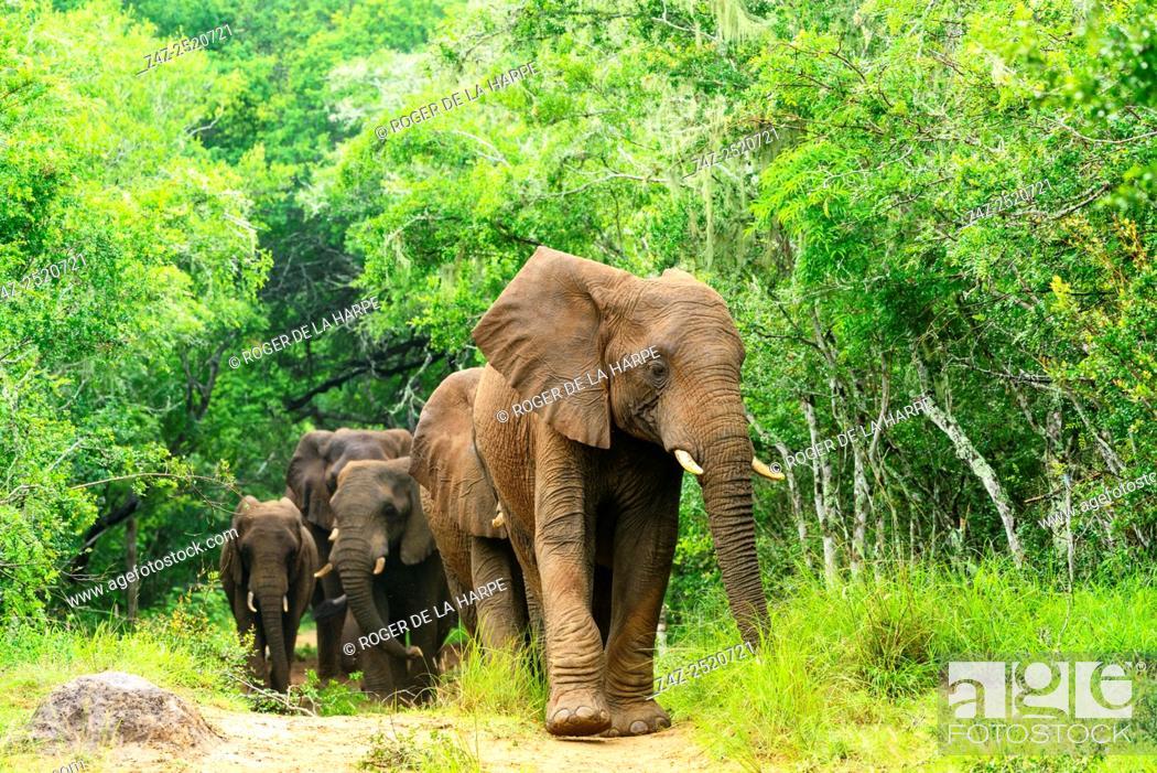 Imagen: African bush elephant or African savanna elephant (Loxodonta africana) on the edge of Sand Forest. Phinda / Munyawana / Zuka Game Reserve.
