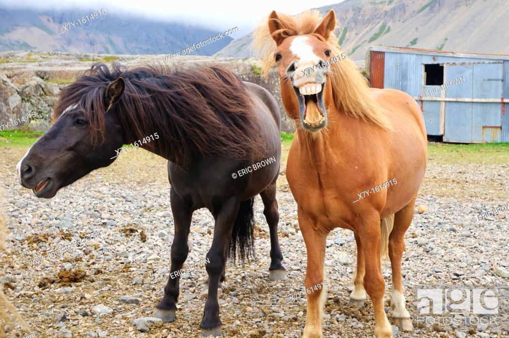 Stock Photo: Icelandic horses neighing.