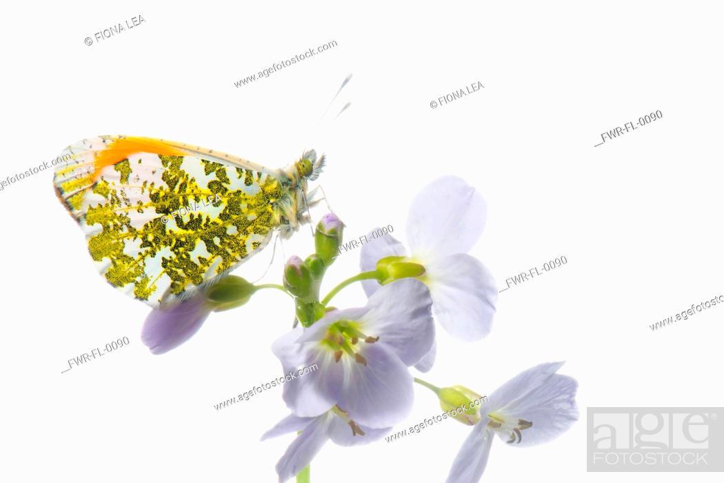 Imagen: Studio shot of Male Orange Tip butterfly on Cardamine pratensis, Cuckoo flower.