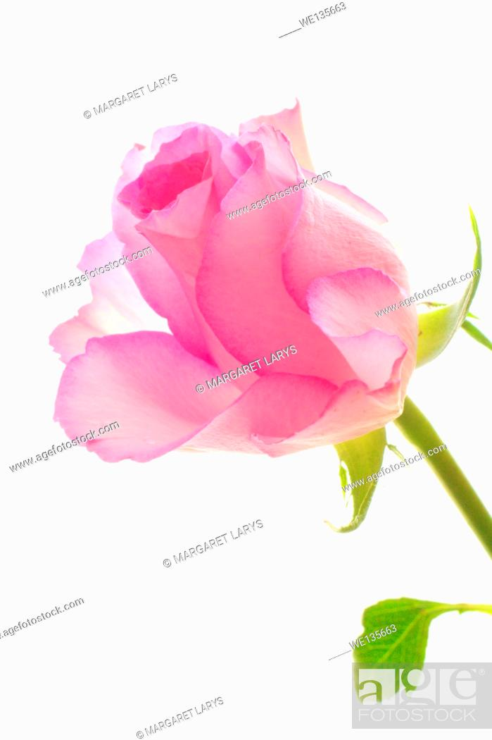 Stock Photo: Pink roses on white pretty background.