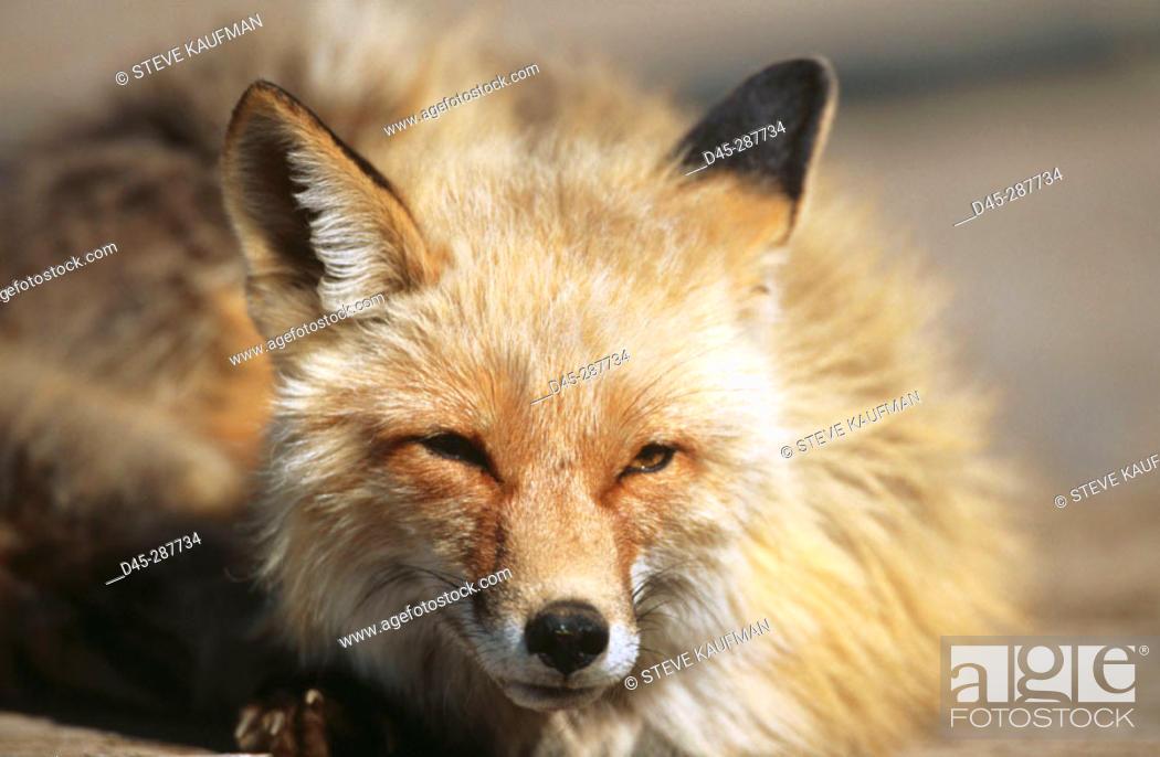 Photo de stock: Red Fox (Vulpes vulpes). Alaska Range. Alaska, USA.
