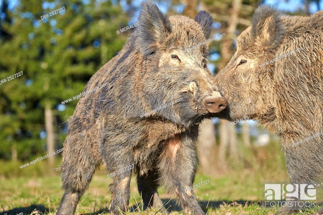 Stock Photo: France, Haute Saone, Private park, Wild Boar Sus scrofa, males fighting.
