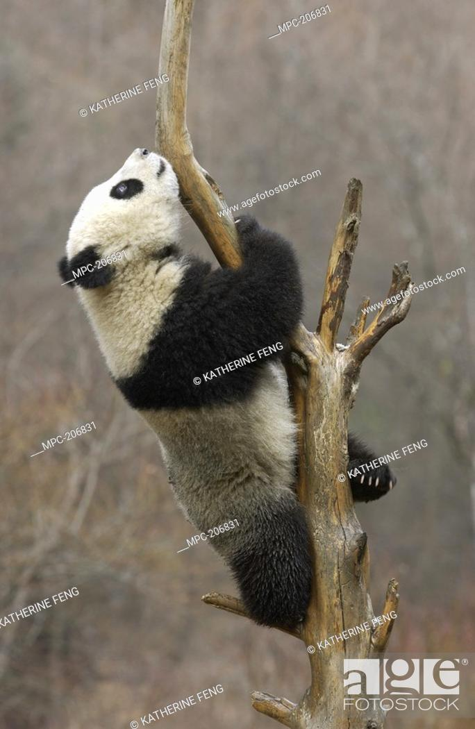 Stock Photo: Giant Panda Ailuropoda melanoleuca, endangered, climbing a tree at the China Conservation and Research Center for the Giant Panda, Wolong Nature Reserve, China.