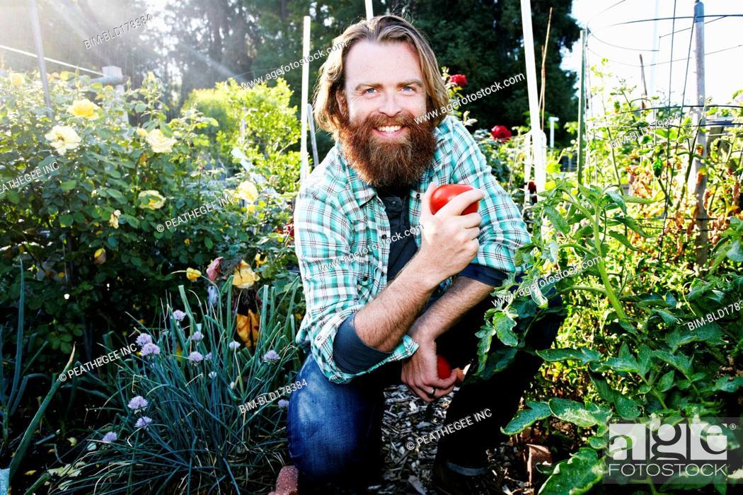 Stock Photo: Caucasian man picking vegetables in garden.
