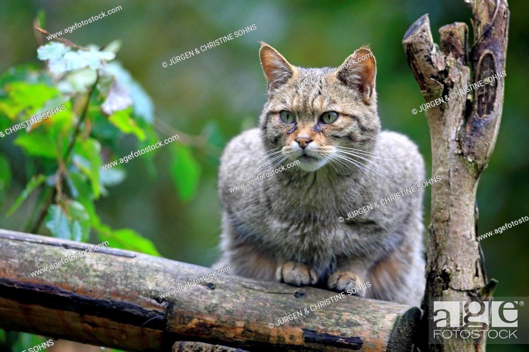 Stock Photo: Wildcat (Felis silvestris), captive, Hanau, Hesse, Germany.