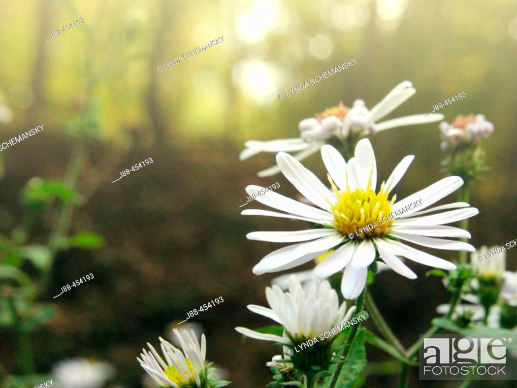 Stock Photo: Wild asters (Aster sp.) - Appalachian foothills, Southeast Ohio, USA.