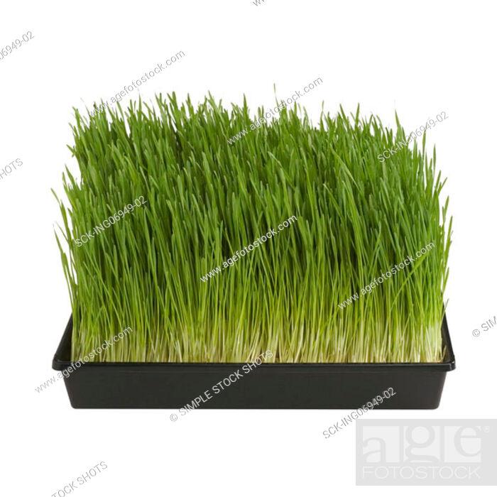 Stock Photo: wheatgrass.