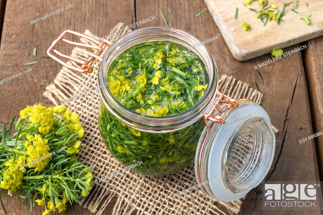 Stock Photo: Preparation of herbal tincture from fresh cypress spurge.