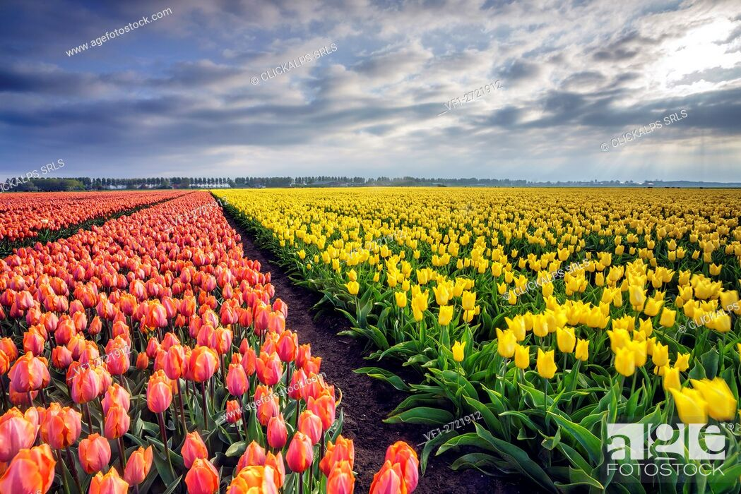 Stock Photo: Spring clouds and rays of sun over fields of multicolored tulips Schermerhorn Alkmaar North Holland Netherlands Europe.