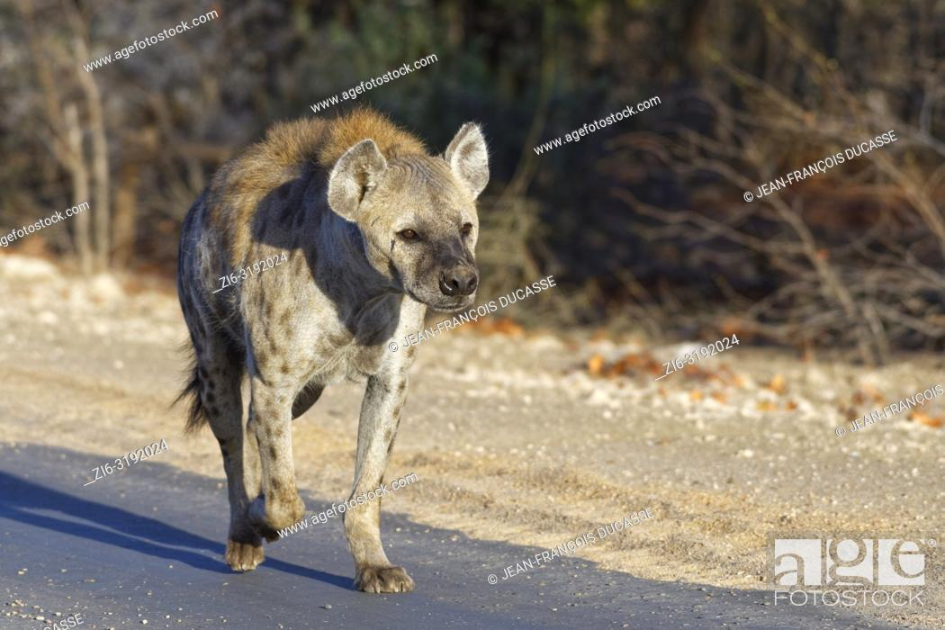 Imagen: Spotted hyena or Laughing hyena (Crocuta crocuta), adult female running along a tarred road, in the morning light, Kruger National Park, South Africa, Africa.