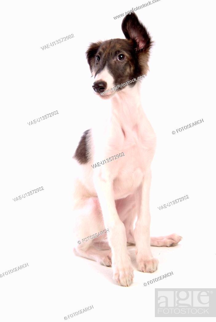 Stock Photo: faithful, domestic animal, companion, canine, close up, borzoi.