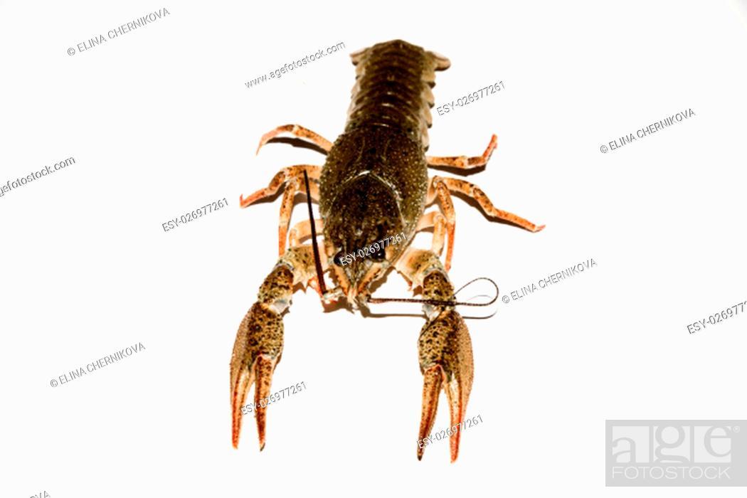 Stock Photo: alive crayfish isolated on white background, live crayfish closeup, fresh crayfish. Beer snacks, river crayfish.