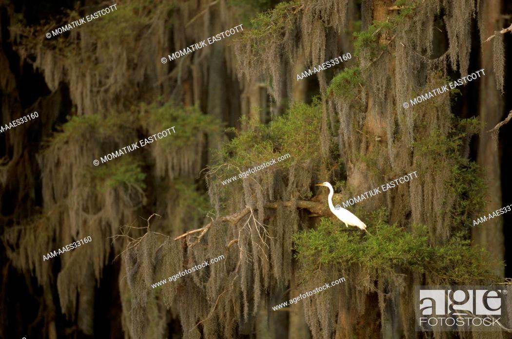 Stock Photo: Great Egret in Bald Cypress (Casmerodius albus) Lake Verret, LA, Louisiana.