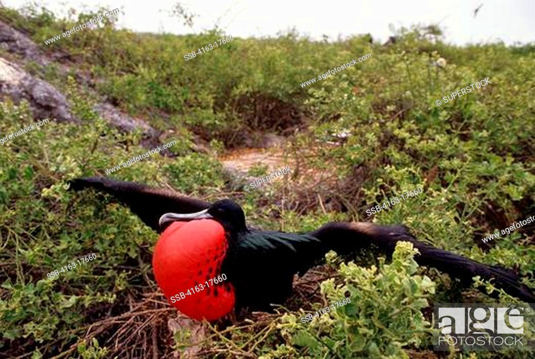 Stock Photo: ECUADOR,GALAPAGOS ISLANDS, TOWER ISLAND, FRIGATE BIRD COLONY, MALE WITH INFLATED THROAT POUCH.