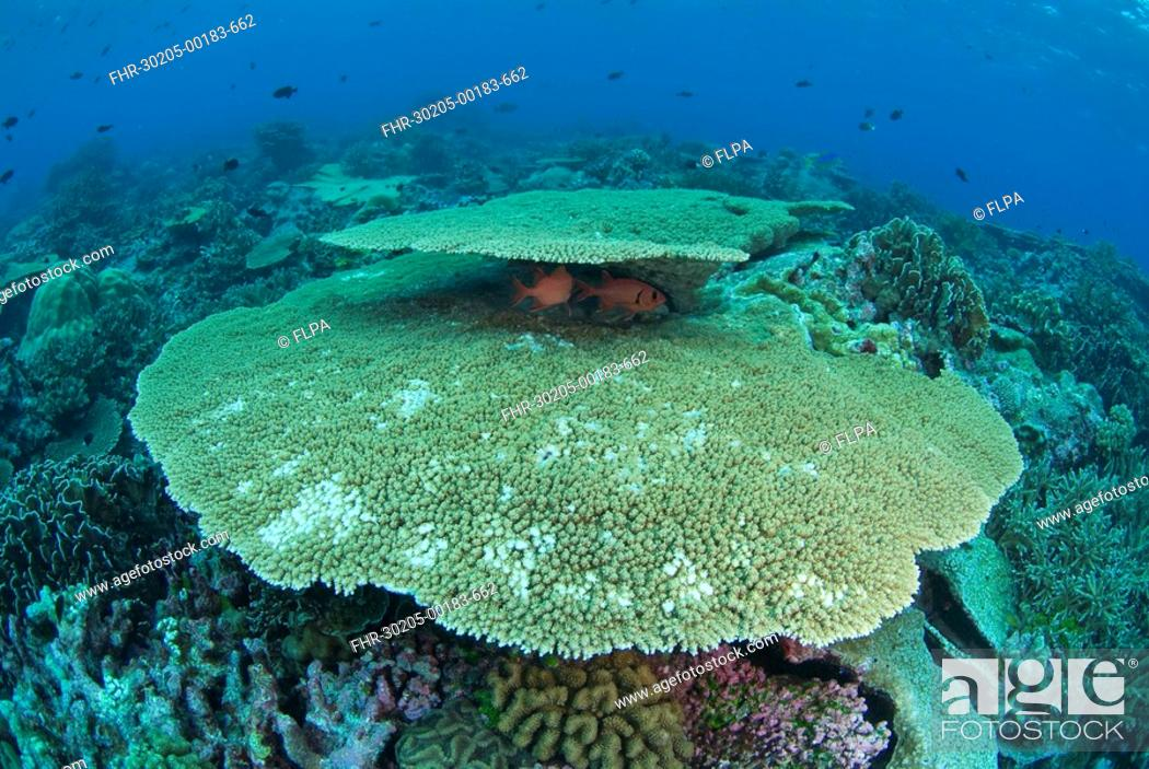 Stock Photo: Coral reef habitat, with fish sheltering under table coral, North West Point dive site, Christmas Island, Australia.