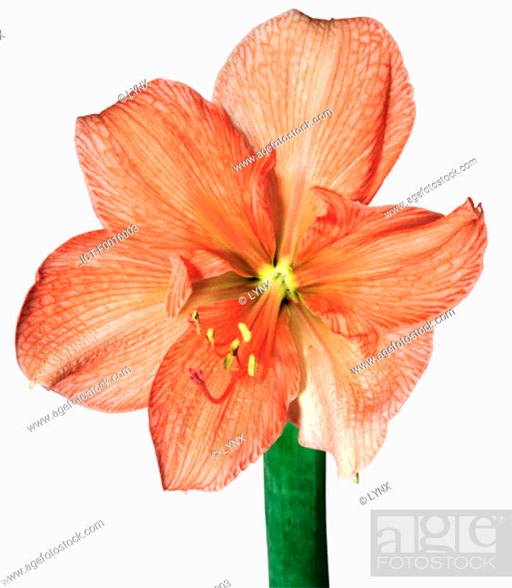 Stock Photo: Amaryllis.