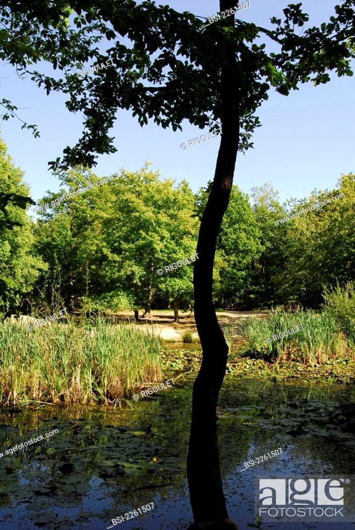 Imagen: POND Reeds and water lilies in the 'Mare aux biches' in the forest of Evreux, in Upper Normandy, France.