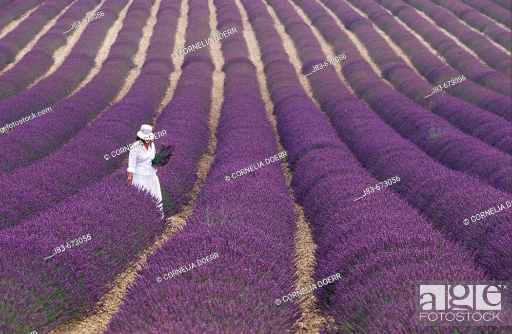 Stock Photo: Girl in Lavender field, Plateau de Vaucluse, Sault, Provence, France.