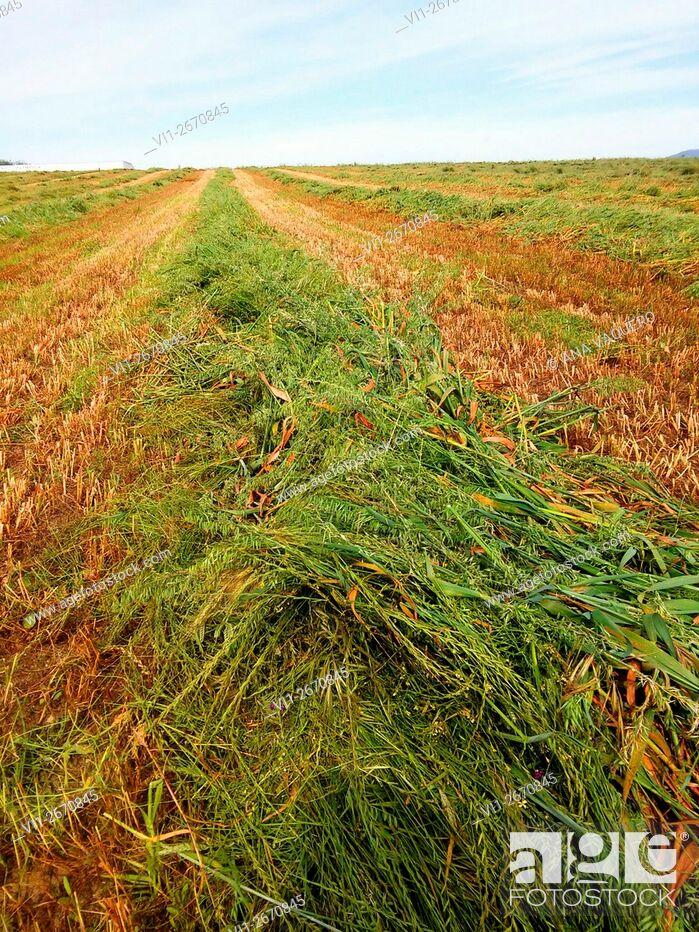 Stock Photo: Harvest around Miajadas, Cáceres, Extremadura, Spain.