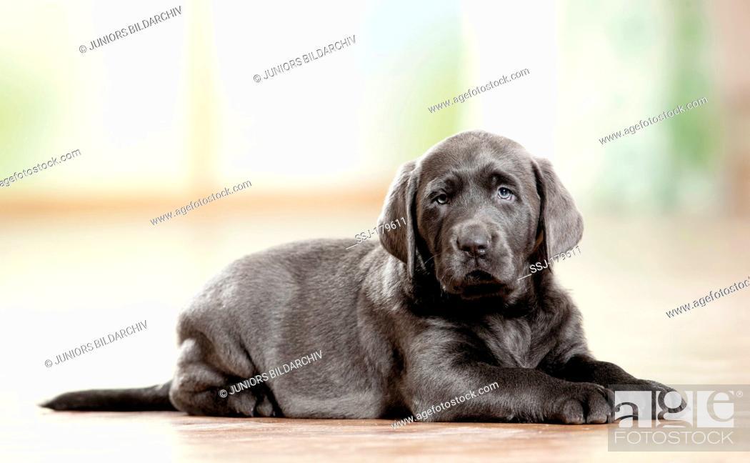 Stock Photo: Labrador Retriever. Puppy lying on wood parquet.