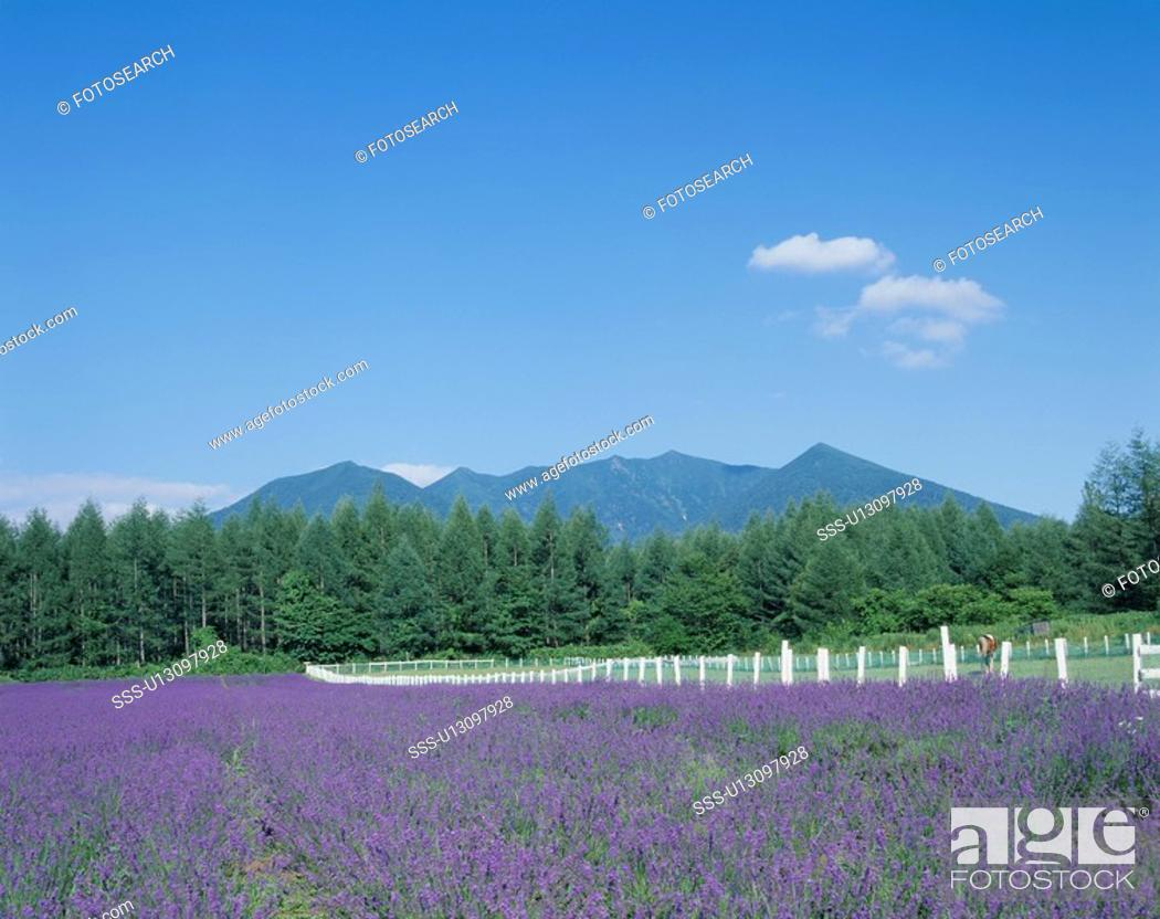 Stock Photo: Lavender Field.