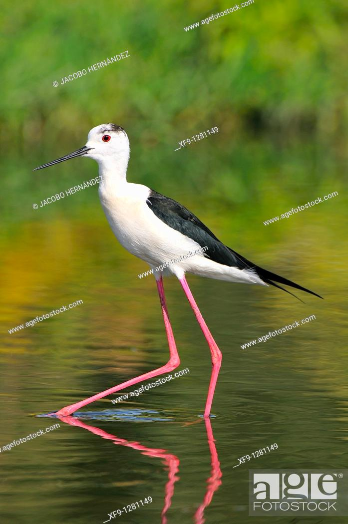 Stock Photo: Black-winged Stilt. Himantopus himantopus. Guadiana river. Badajoz. Extremadura. Spain.