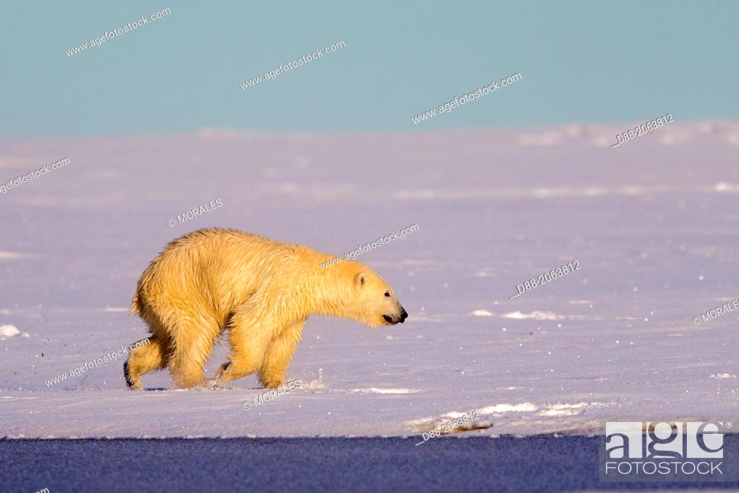 Stock Photo: United States , Alaska , Arctic National Wildlife Refuge , Kaktovik , Polar Bear( Ursus maritimus ) , along a barrier island outside Kaktovik, Alaska.