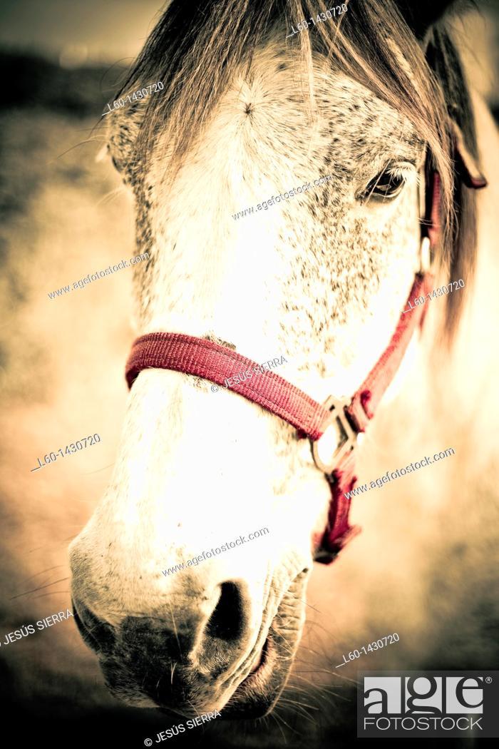 Stock Photo: White Horse, Asturias, Spain.