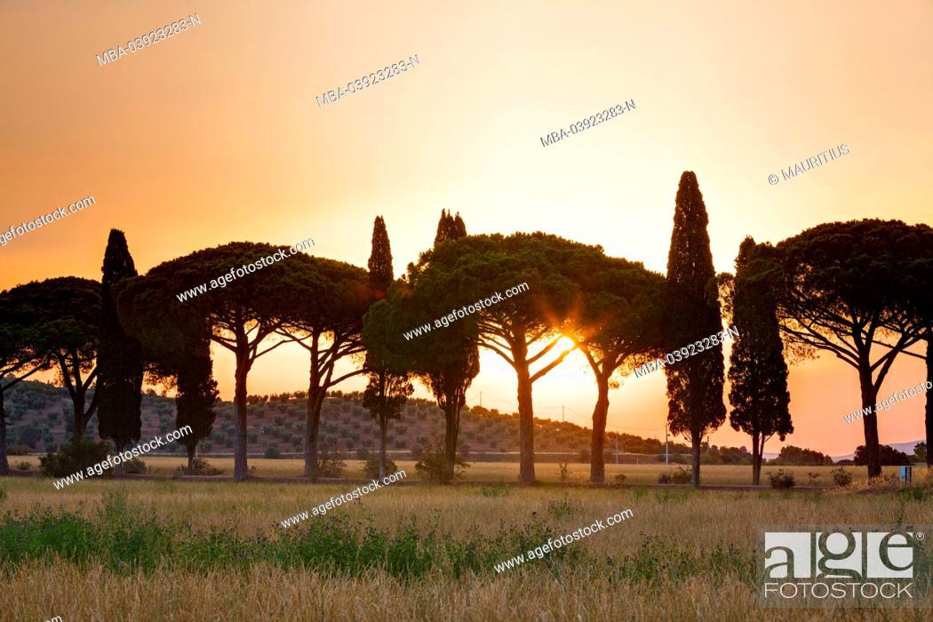 Stock Photo: Pine- and cypress avenue at sundown.