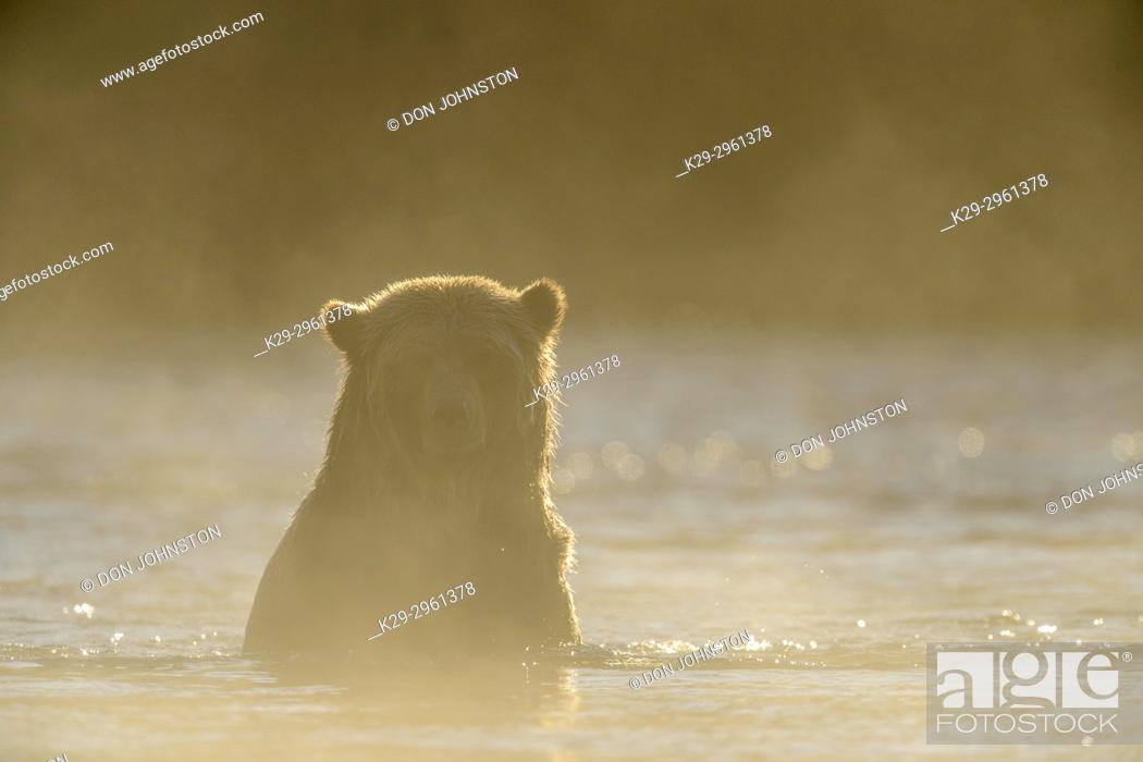 Stock Photo: Grizzly bear (Ursus arctos)- Attracted to a sockeye salmon run in the Chilko River, Chilcotin Wilderness, BC Interior, Canada.