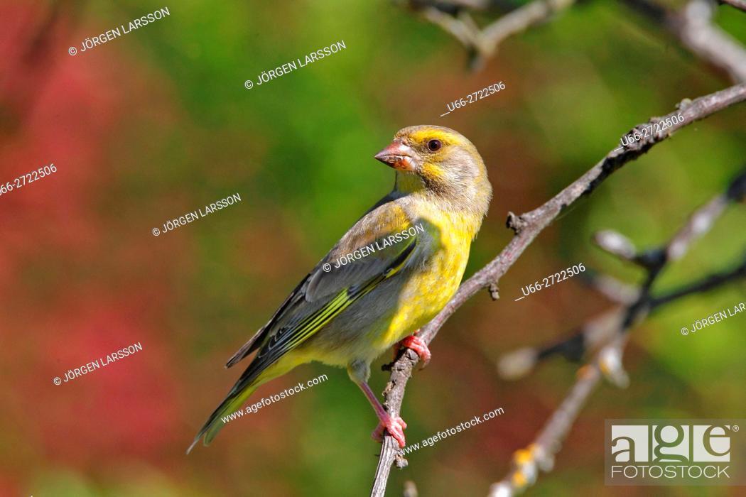 Stock Photo: Sweden, Stockholm, European Greenfinch (Carduelis chloris) perching on branch.