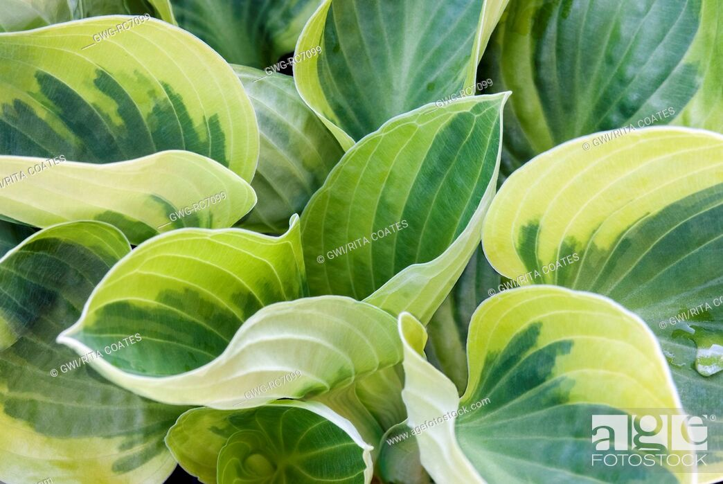 Stock Photo: HOSTA 'WIDE BRIM'.