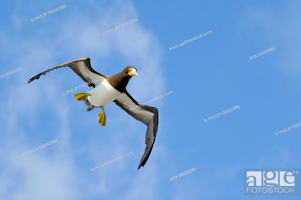 Imagen: A female Brown Booby (Sula leugogaster leugogaster) in flight towards the nest, Cayman Islands, British Overseas Territory, Cayman Brac.