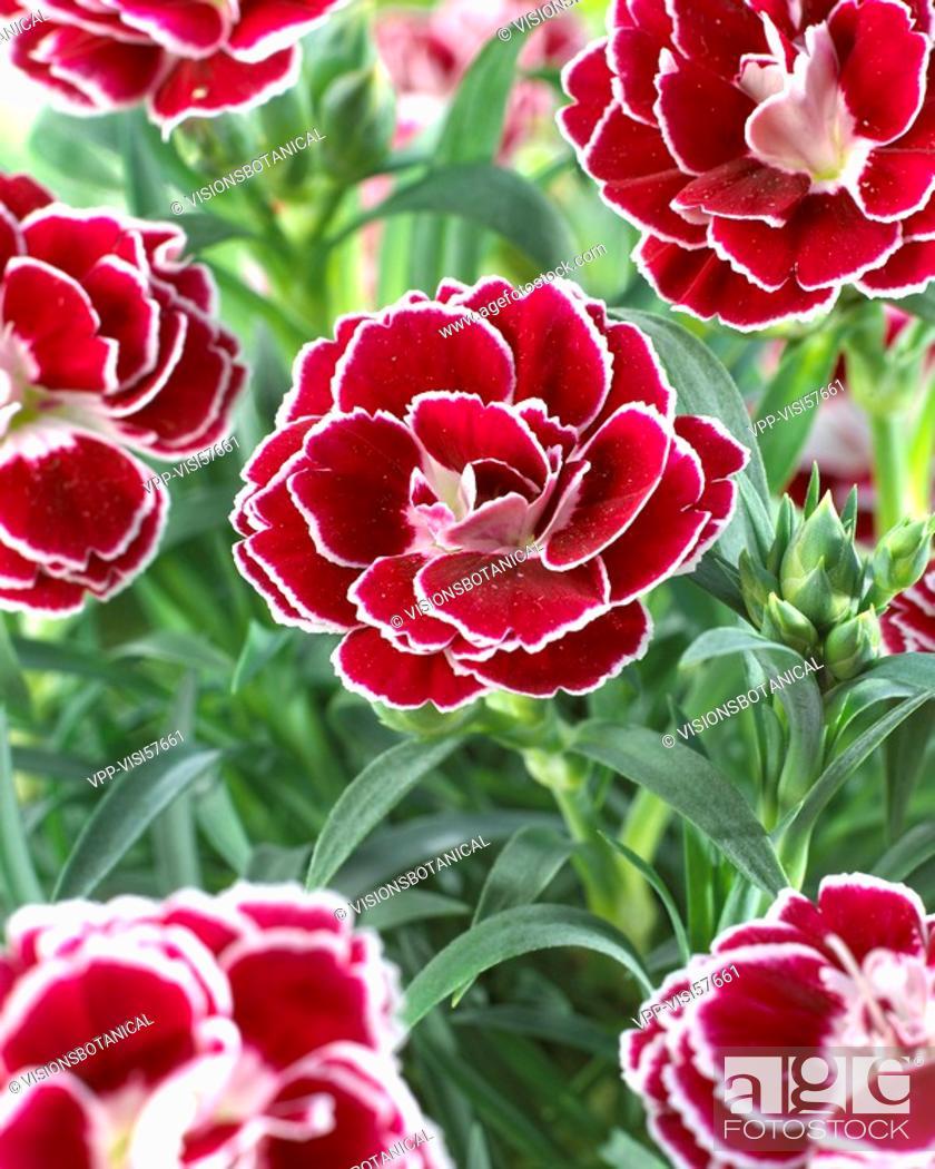 Stock Photo: Dianthus Bianca.