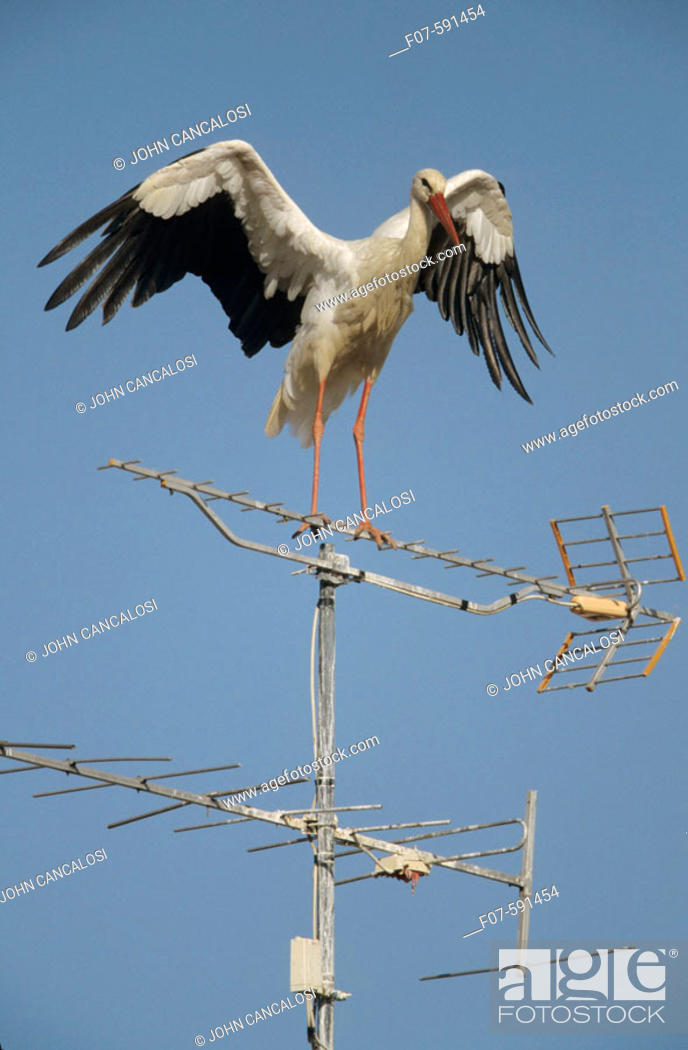 Stock Photo: European White Stork (Ciconia ciconia) - On TV Antenna - Spain -  Found in Europe-Western Asia and Southern Africa - Winters mostly in tropical and Southern.