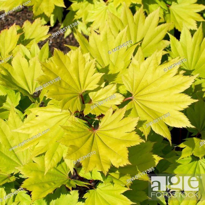 Golden Leaf Full Moon Maple Golden Full Moon Maple Japanese Maple