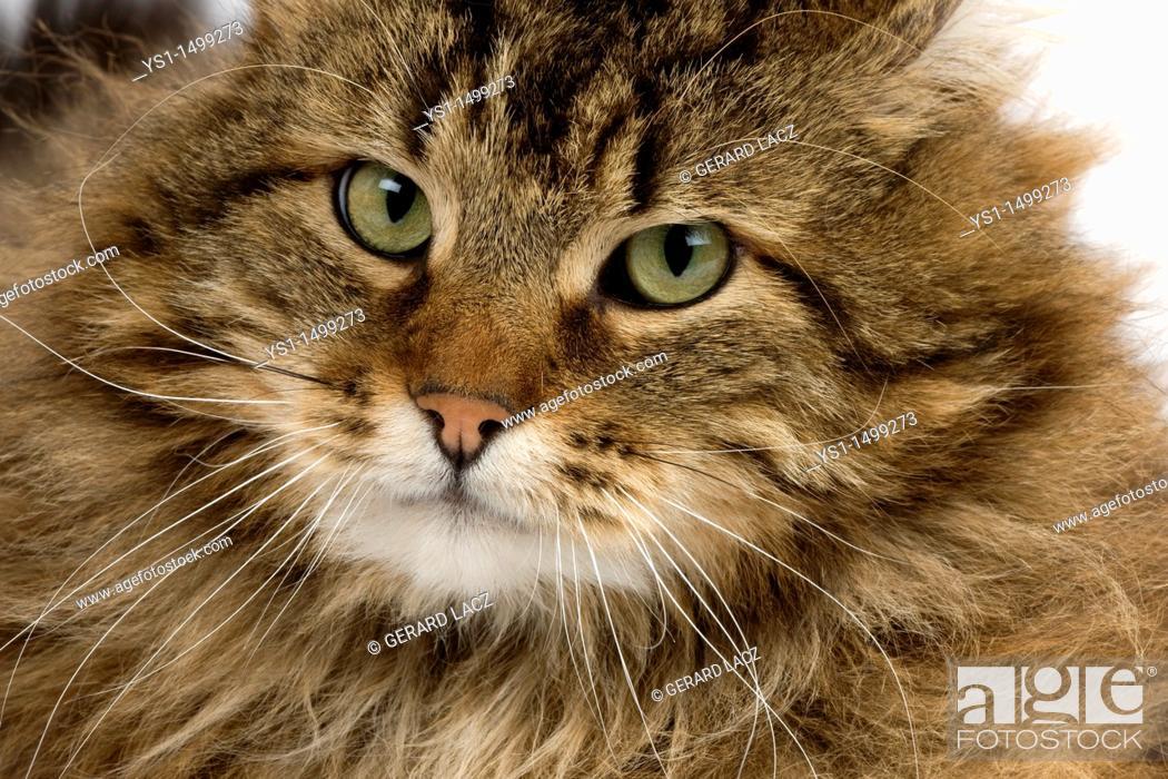 Stock Photo: Angora Domestic Cat, Portrait of Male.